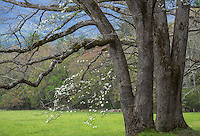 Great Smoky Mountains National Park, Tennessee:<br /> Early spring oak branches in Cades Cove