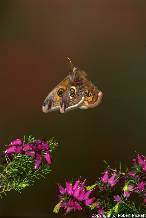 Emperor Moth, Saturnia pavonia, male in flight over heather, flying, high speed photographic technique, mid flight, side, wings open, daytime, eye spots.United Kingdom....