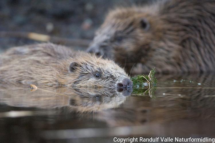 Bever i vannflaten ---- Beaver in water