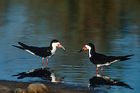 578613022 a pair of wild black skimmers rynchops niger face each other in a shallow pond at salton sea national wildlife refuge in southern california