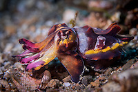Flamboyant Cuttlefish(Metasepia pfefferi) in the Lembeh Strait / Indonesia. The Flamboyant cuttlefish has been recorded from sand and mud substrate in shallow waters at depths of 3 to 86 m. The species is active during the day and has been observed hunting fish and crustaceans. It employs complex and varied camouflage to stalk its prey. The normal base color of this species is dark brown. Individuals that are disturbed or attacked quickly change colour to a pattern of black, dark brown, white, with yellow patches around the mantle, arms, and eyes. The arm tips often display bright red coloration to ward off would-be predators.