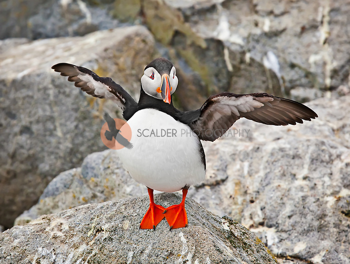 Atlantic Puffin Standing on a rock with wings up