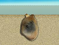 Pullet Carpet Shell - Venerupis senegalensis