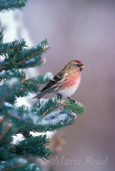 Common Redpoll (Carduelis flammea) male perched in conifer in winter, New York, USA.<br /> Slide # B167-2096