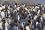 A King penguin colony on the island of South Georgia, Great Britain, UK