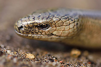 Slow-worm or Blindworm, Anguis fragilis, Musteika Village, on the border of the Cepkeliai reserve and the Dzukija National Park, Lithuania, EU