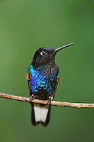 Velvet-Purple Coronet (Boissonneaua jardini), adult perched, Mindo, Ecuador, Andes, South America