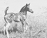 Illustration of a frisky colt on a Houston TX ranch.