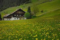 Austrian home amongst a daisy field, Imst district, Tyrol, Austrian alps.