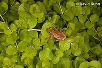 0810-0902  Spring Peeper Frog Climbing on Green Sedums, Pseudacris crucifer (formerly: Hyla crucifer)  © David Kuhn/Dwight Kuhn Photography