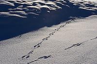 Tracks of European hare, Lepus europeus, Central Apennines, Italy