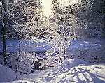 Mount Baker-Snoqualmie National Forest, WA <br /> Winter sun on frosted branches along the snow covered banks of the North Fork Nooksack River