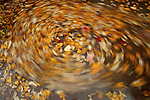 Cottonwood leaves swirling in a creek, Washington