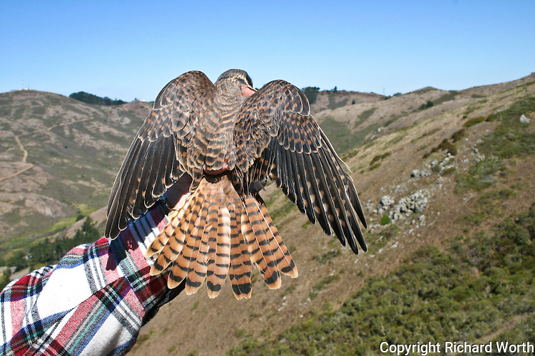 American Kestrel held to display its wings, back and tail.