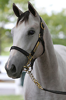 Hip #Tapit - Don'ttellmichelle filly at the  Keeneland September Yearling Sale.  September 9, 2012.