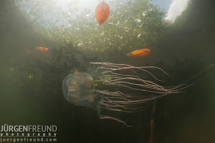 Box jellyfish (Chironex sp.) in amongst the mangrove roots in amongst the mangrove roots