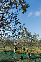 Europe/Provence-Alpes-Côte d'Azur/83/Var/Iles d'Hyères/Ile de Porquerolles:  Marie-Claude Cano récolte les olives des  vergers-conservatoires  du Conservatoire botanique national méditerranéen de Porquerolles, plus de 110 variétés d'oliviers, sur l'île de Porquerolles<br /> A la ferme de l'Oustaou elle produit son huile d'olive réputée<br /> AUTO N°: 2012-417
