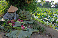 Woman arranging Lotus flower by water lily pond (Licence this image exclusively with Getty: http://www.gettyimages.com/detail/83154195 )