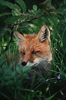A Red fox (Vulpes vulpes) watches from within a leafy glade.