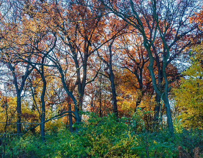 A forest is bright with autumn color, Oldfield Oaks Forest Preserve, DuPage County, Illinois