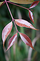 Foliage of Syzygium paniculatum, Isole di Brissago Botanic Garden, Ticino, Switzerland, late October. A broad dense bushy rainforest tree native to New South Wales. Common names include Magenta Lilly Pilly and Magenta cherry.
