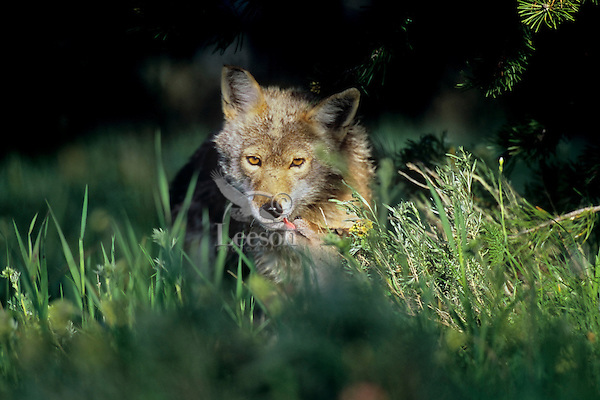 Wild Coyote (Canis latrans) pup greets an adult near their densite.  Western U.S., June.