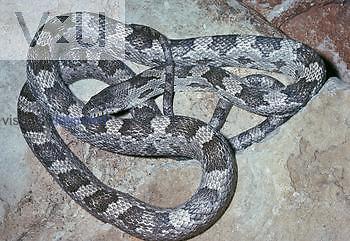 Gray Rat Snake (Elaphe obsoleta spiloides), Southern USA.