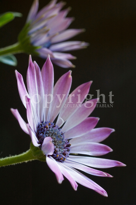 Two pink African Daisy flowerhead at dark background