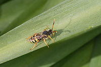Wespenbiene, Kuckucksbiene, Wespen-Biene, Kuckucks-Biene, Männchen, Nomada spec., cuckoo bee, male, cuckoo-bee, Wespenbienen, Kuckucksbienen, cuckoo bees, cuckoo-bees