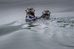 sea otter (Enhydra lutris) , Glacier Bay National Park, Alaska, USA