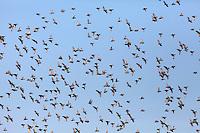 Star, Trupp, Schwarm, Starenschwarm, Vogelschwarm, Sturnus vulgaris, European starling