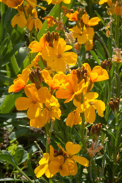 Erysimum cheiri 'Fire King', mid May. A wallflower with bright orange or red flowers.