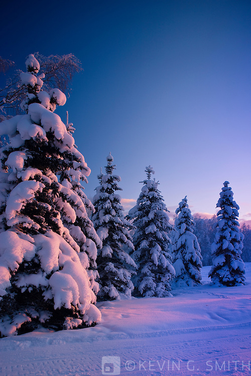 Snow covered spruce trees at sunset, pink light on them, winter, Russian Jack Park, Anchorage, Southcentral Alaska, USA.