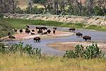 Theodore Roosevelt National Park - Badlands, South Unit - Bison at Little Missouri River