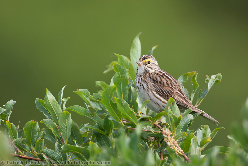 Savannah sparrow in willow tree, Katmai National Park, southwest, Alaska.