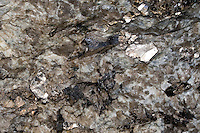 Mineral, Mineralien, Muskovit (silber) in Stein eingeschlossen, Muscovite, common mica, isinglass, potash mica