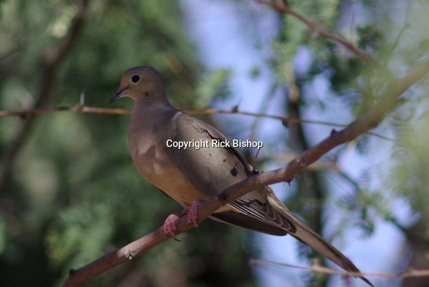 Morning Dove on a shade tree branch in southern Arizona on a spring day.