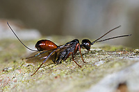 Gichtwespe, Aulacus striatus, Aulacus arcticus, Aulacidae