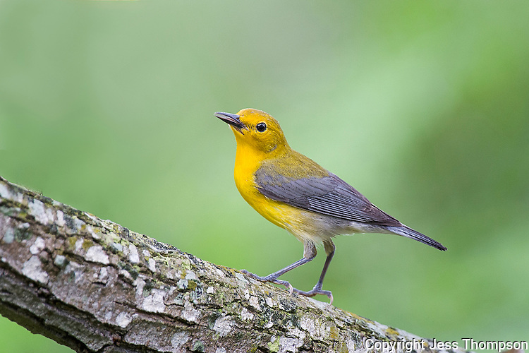 Prothonotary Warbler, South Padre Island, Texas