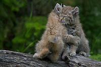Bobcat Babies