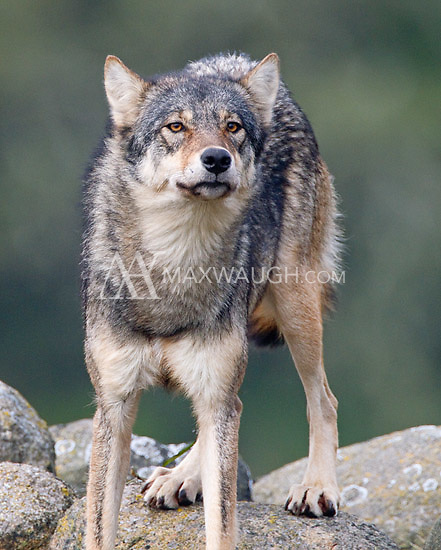 We had a brief but wonderful encounter with a pack of coastal wolves on Vancouver Island.