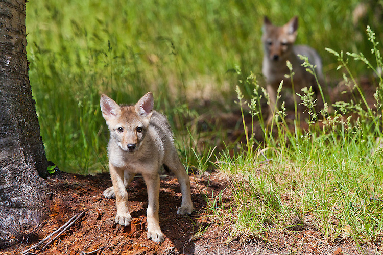 Pair of Coyote pups near a den site - CA