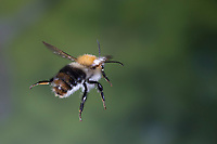Ackerhummel, Flug, fliegend, Acker-Hummel, Hummel, Bombus pascuorum, Bombus agrorum, Megabombus pascuorum floralis, common carder bee, carder bee, flight, flying, le bourdon des champs