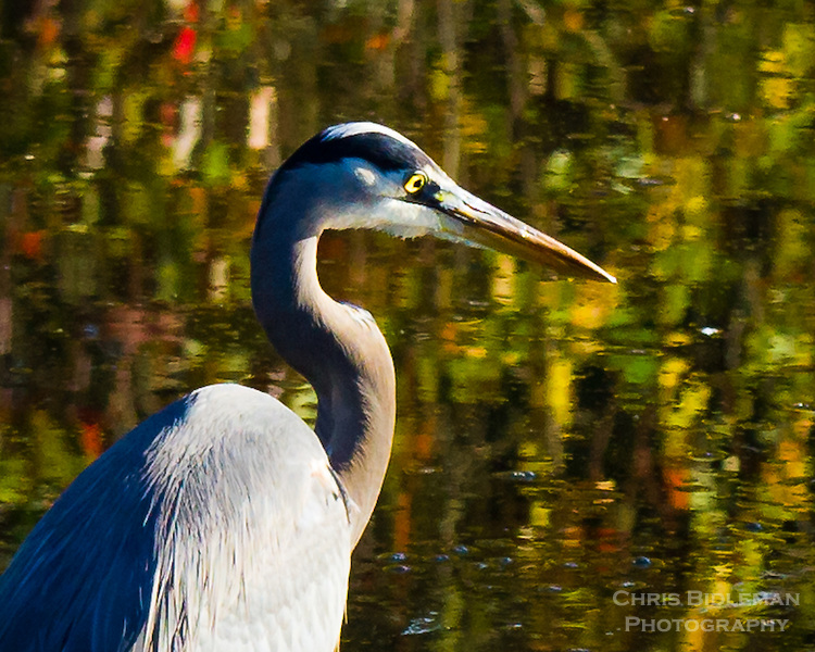 A close up portrait of a Great Blue Heron (Ardea herodias) standing in a pond with the Fall leaves reflecting in the pond gives an abstract painting feel to the background of the photo.