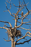A wild bald eagle keeping a watchful eye on its nest in the Estero Bay Preserve in SW Florida.