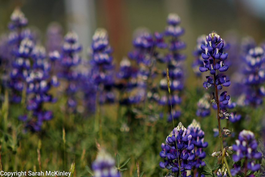 A patch of lupine growing along Highway 128 between Geyserville and Calistoga in Napa County in Northern California.
