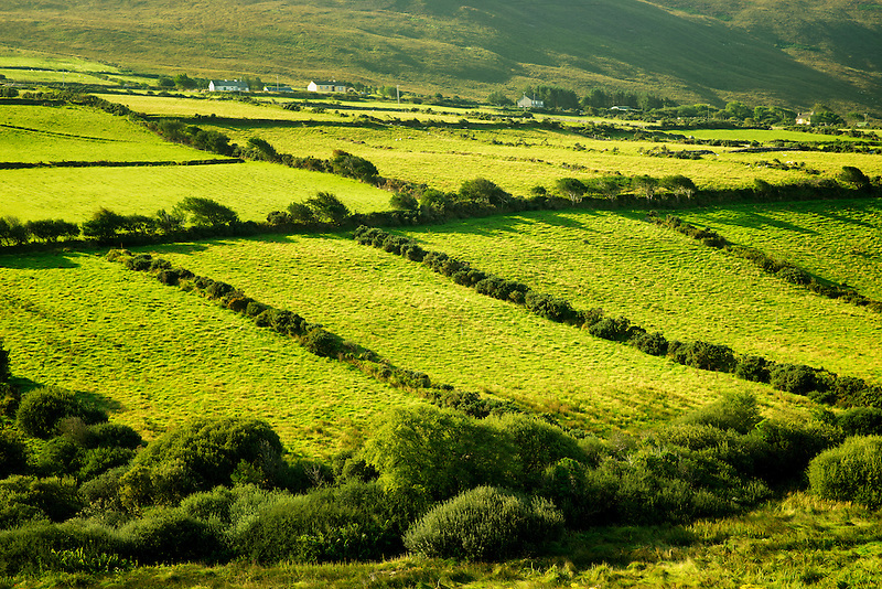 Pastoral scene with cows and pasture. Dingle Peninsula. Ireland
