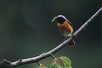 Common Redstart, Phoenicurus phoenicurus, male, Kuessnacht, Switzerland, Europe