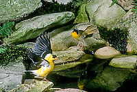 Goldfinch drying wings after a bath in a garden pool is watched by a common yellowthroat waiting its turn