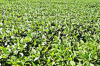 Soybean field, New Jersey, USA